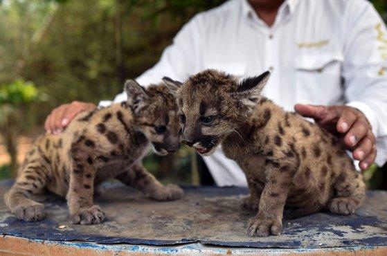Vedete de mici. Pandemie şi Carantină, doi pui de pumă născuţi în captivitate, fac senzaţie pe internet