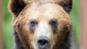 VIDEO Pui de urs alergând flămând pe străzile unui oraș din România. Oamenii legii sunt în alertă