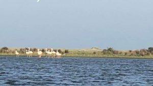 O familie de Flamingo a ajuns în România. Zece exemplare au fost văzute în Delta Dunării