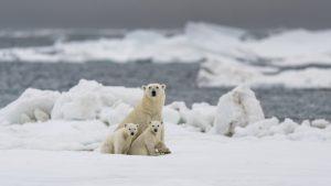 Urșii polari ar putea dispărea aproape în totalitate până în 2100. Cum le afectează traiul schimbările climatice