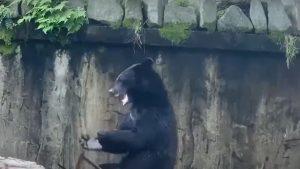 """Bruce Lee are concurență. Video viral cu primul urs ninja în timp ce """"se """"antrenează"""""""