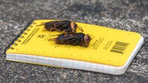 Specialiștii americani au capturat prima viespe-gigant asiatică. Insecta reprezintă o amenințare pentru oameni