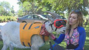 """O capră din Idaho este pasionată de vâslit. Ce hobby-uri mai are """"domnul Mayhem"""""""