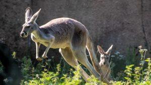 Noapte neagră pentru Zoo Timișoara: trei câini au ucis toți cangurii din habitat