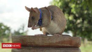 Un șobolan a fost premiat cu medalia de aur organizația veterinară PDSA pentru că a detectat 39 de mine
