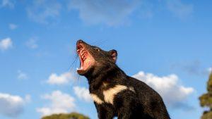 diavol-tasmanian