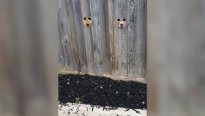 Viral pe TikTok. O femeie din Australia a făcut găuri în gard ca să fie văzută de căței când vine acasă