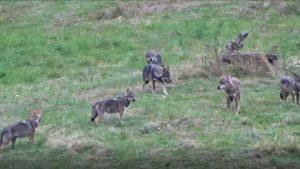 Imagini rare. O haită de lupi a fost surprinsă în pădurile din Neamț. VIDEO