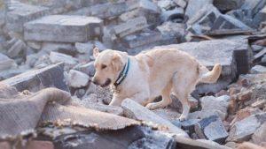 Labrador Izmir