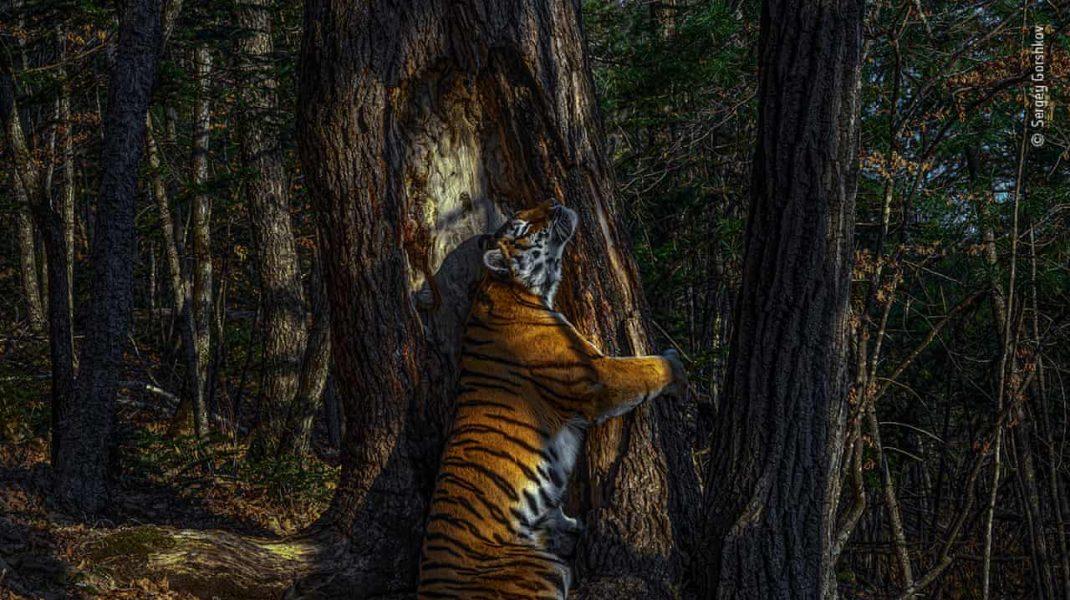 O poză rară în care un tigru îmbrăţişează drăgăstos un copac este fotografia anului