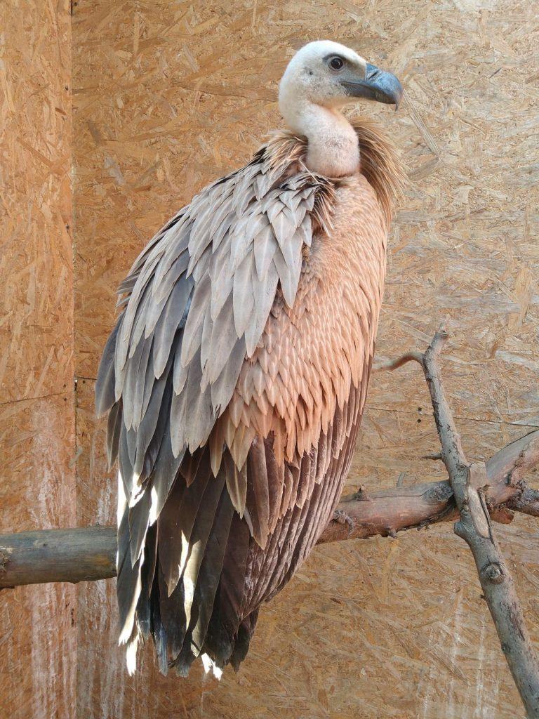 vulturul sur, pasăre rară în România