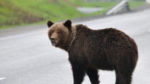 Un avion a lovit și a ucis un urs brun în timp ce ateriza pe un aeroport din Alaska