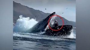 balena-caiac