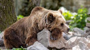 Cum se pregătesc urșii de hibernare. Imagini inedite surprinse în Brașov