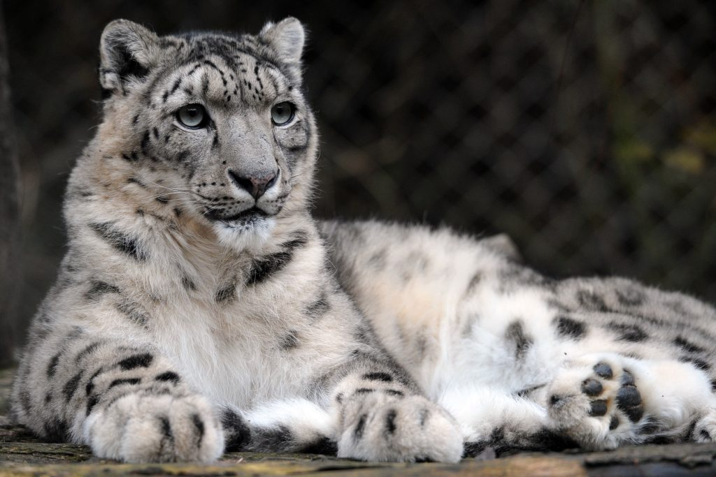 leopardul-zapezii