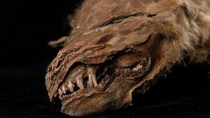 """Un pui de lup, de 57.000 de ani, a fost găsit """"perfect conservat"""" în Canada"""