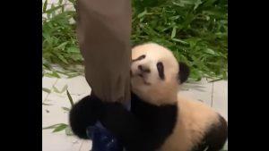 VIDEO. Un clip cu un pui de urs panda, care se agață de piciorul îngrijitorului, viral în online