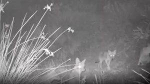 Imagini rare cu mai mulți șacali care produc sunete înfricoșătoare, filmate în Tulcea. VIDEO