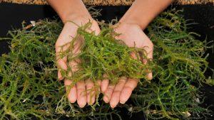 Salvarea planetei poate veni de la o fermă din New York. Algele care ajută la reducerea emisiilor de metan ale animalelor
