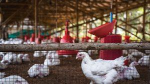 Rusia a depistat la oameni primele cazuri din lume de gripă aviară H5N8