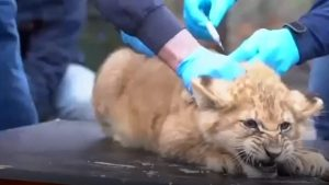 Trei pui de leu au fost vaccinați împotriva gripei. Cum au reacționat când au văzut acul