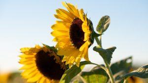 România este pe primul loc în Uniunea Europeană la producţia de floarea soarelui