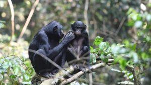 maimute-bonobo