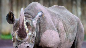 rinocer-negru