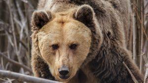 Un sportiv a fost ucis de urs în apropierea pârtiei de la Azuga