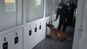 Câini dresați COVID
