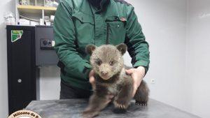 Pui de urs salvat