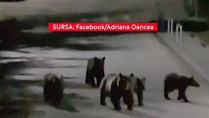 Apar tot mai multe imagini cu urși care se plimbă prin Sinaia, Brașov sau Harghita. Sfaturile ghizilor montani. VIDEO