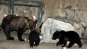 ursi bruni la un tomberon din romania