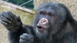 Un cimpanzeu, dependent de alcool şi ţigări, a fost eliberat după 25 de ani