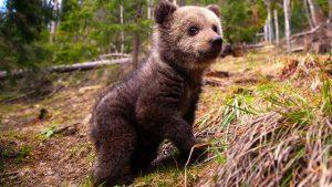 Un pui de urs în pădure