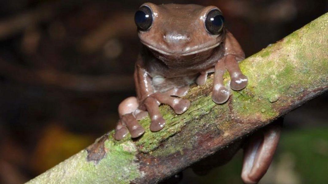 Broasca ciocolatie, broasca speciei Litoria Mia, stând pe un copac.