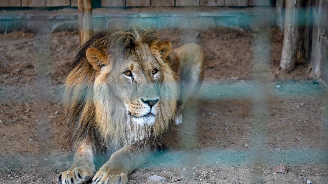 leu captivitate