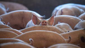porci în grajd