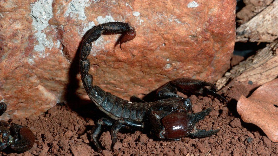Angajata unui supermarket din Constanța a fost mușcată de un scorpion. Cum a fost posibil