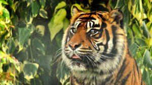 Premieră mondială. Un veterinar a salvat ochiul unui tigru în prima operație de acest fel din lume