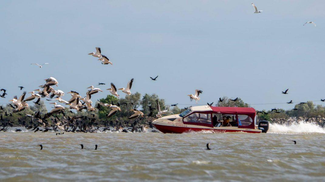 delta-pelicani
