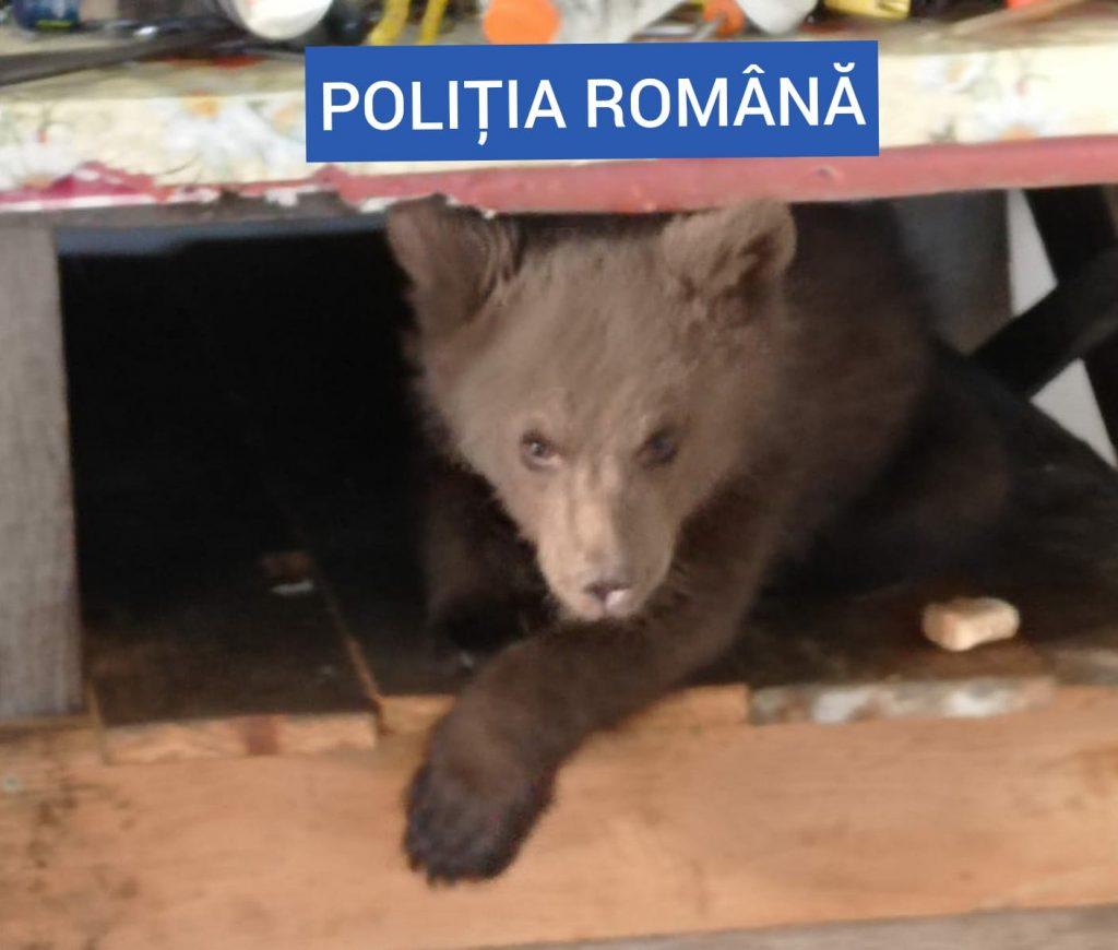 Puiul de urs găsit într-o casă din Maramureș. Foto: Poliția Română