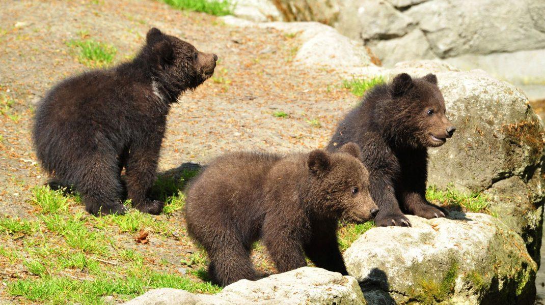 Urși care stau pe niște pietre în pădure.