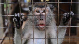 maimuta-macac