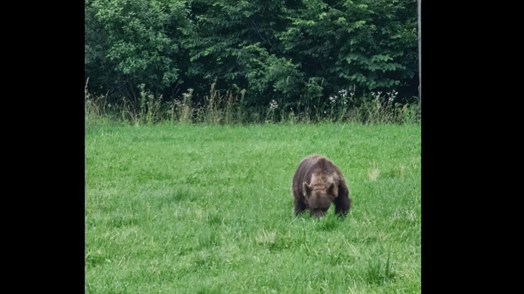 Ministrul Mediului s-a întâlnit cu ursul, în Covasna: Nu s-a speriat de mașini și nici de trecători. FOTO