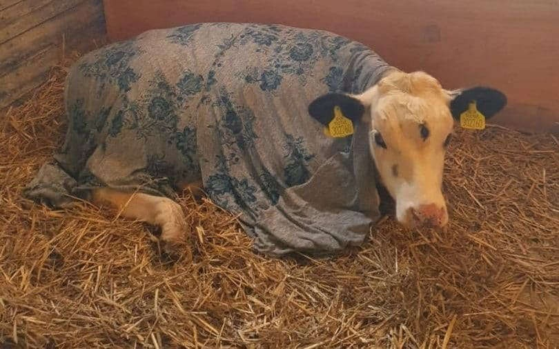 """""""Vaca sfântă"""". Un vițel cu trei ochi, salvat de la sacrificare pentru a fi venerat ca un zeu. FOTO"""