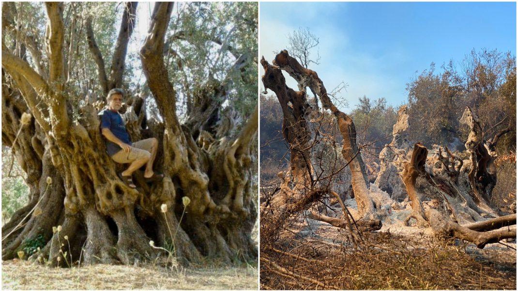 Arborele de măslin din Evia, vechi de 2500 de ani, înainte și dupp incendiile devastatoare.