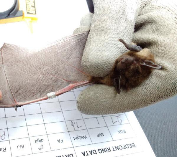 "Liliacul a fost botezat ""Olympian"". Foto: Bat Conservation Trust"