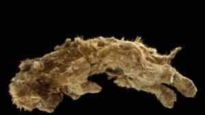 Puiul de leu Sparta care a fost găsit în permafrostul din Siberia.