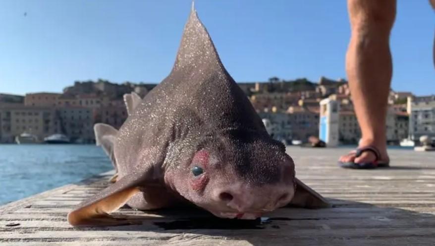 Creatură bizară descoperită de marinarii italieni: un pește care are corp de rechin și cap de porc. FOTO